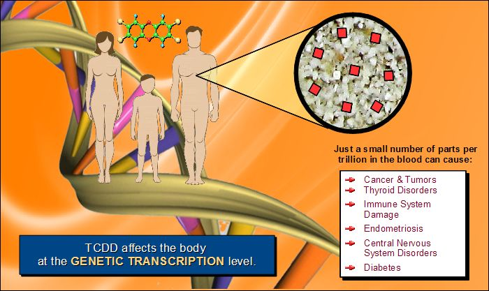 TCDD affects the body at the genetic level